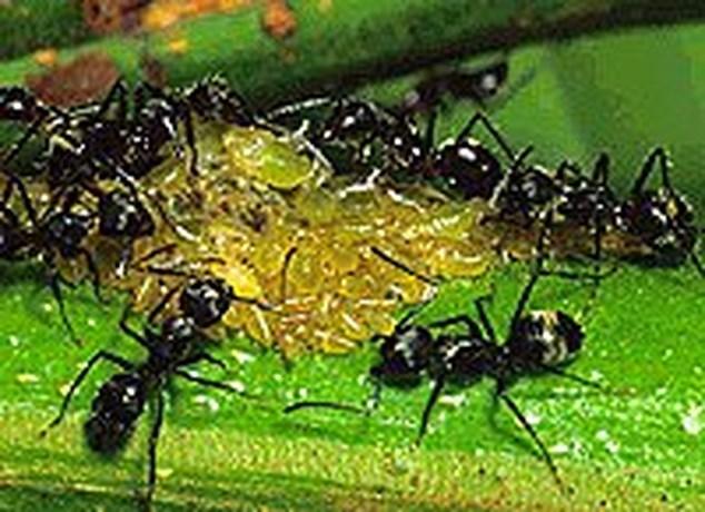 Mieren klonen zichzelf