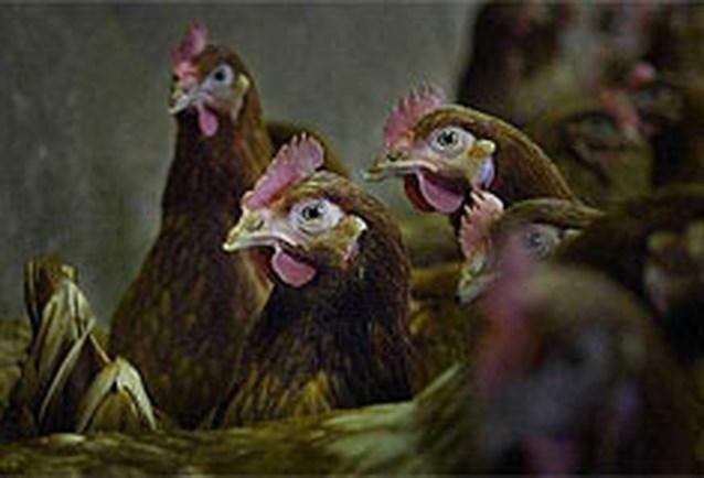 Belgische kippen hebben eigen datingsite