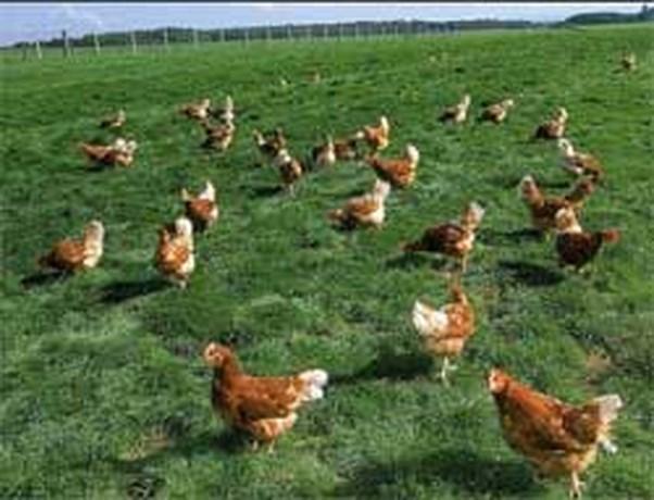 De kip als tuinhulp