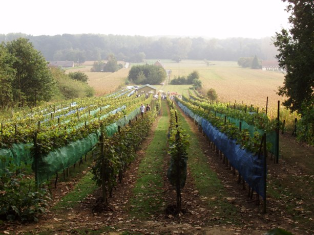 Open wijngaard bij Danouise