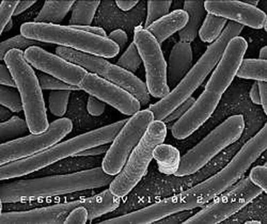 Darmbacterie dient als harde schijf