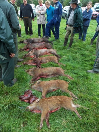 Zeven everzwijnen geschoten in hartje West-Vlaanderen