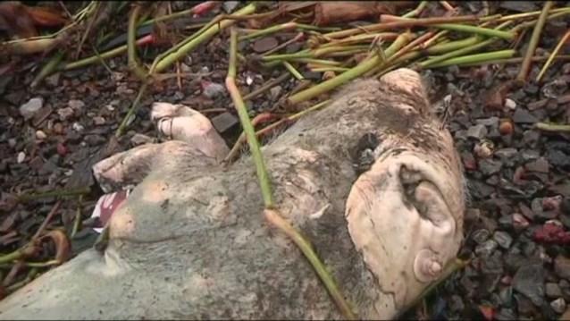 Na de varkens nu ook duizend dode eenden uit Chinese rivier gevist