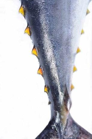 Enkel tonijn met label in koksscholen