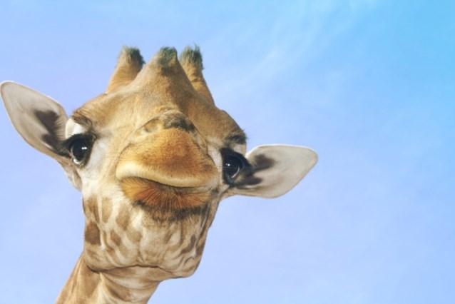 Giraffeninvasie op Facebook is geen virus op computer