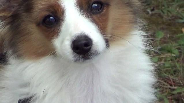VIDEO: Hondenwedstrijd bij De Moedige Bijters in Schoten