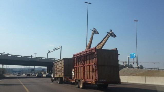 Giraf botst tegen brug tijdens transport en sterft
