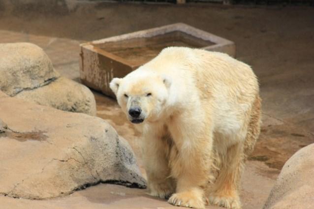 Afrika's laatste ijsbeer is niet meer