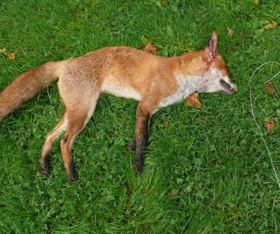 Zonhovenaar knuppelt vos dood