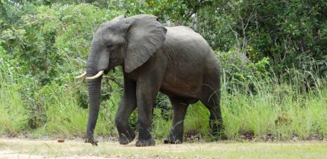 Oostendse school adopteert olifant