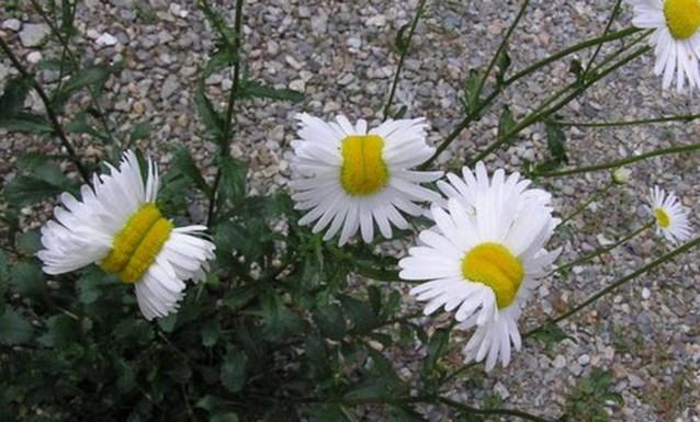Wat scheelt er met de bloemen in Fukushima?