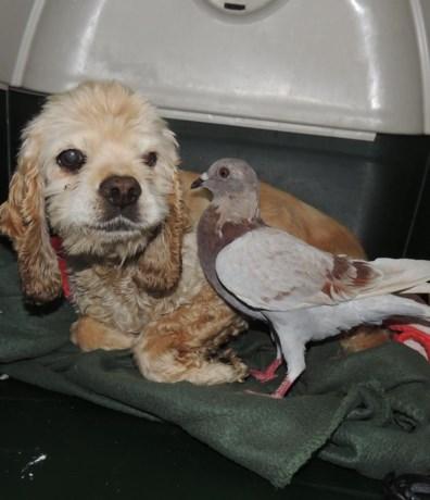 Aandoenlijke 'love story' tussen hond en duif