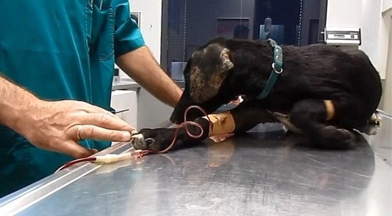 Deze hond was verwaarloosd en bedekt met duizenden teken, maar je kan amper geloven hoe ze er nu uitziet