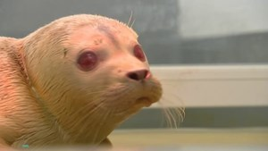 Albinozeehond aangespoeld in Lombardsijde