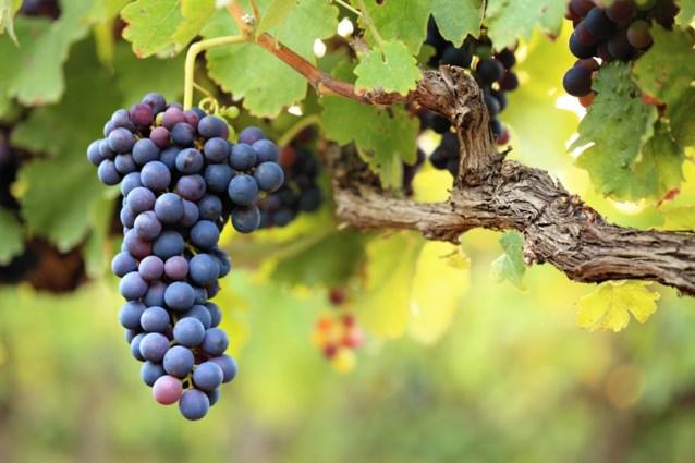 Meer dan een miljoen liter Belgische wijn geproduceerd