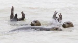 Sea Life ving nooit zoveel zeehondenpups op