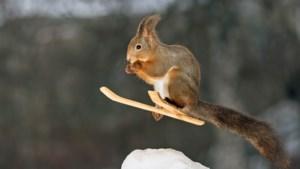 Moeilijke dag? Hier is een eekhoorn op ski's