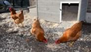 Vogelgriep: ophokplicht voor professionele houders verlengd