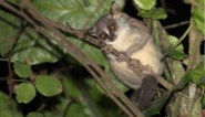 Wetenschappers hebben nieuwe apensoort ontdekt, maar die wordt meteen al met uitsterven bedreigd