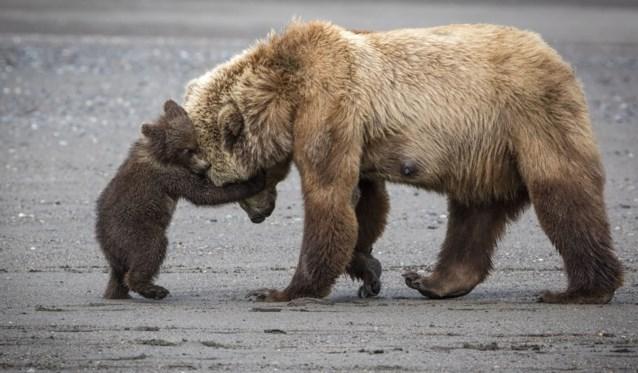 Donald Trump tekent wet die jacht op wolven en beren in winterslaap opnieuw toelaat