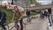 Fietsen in Gent... is uitwijken voor een kudde schapen