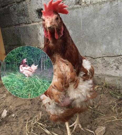 Een zielige kip redden? Onze redactrice adopteerde er eentje