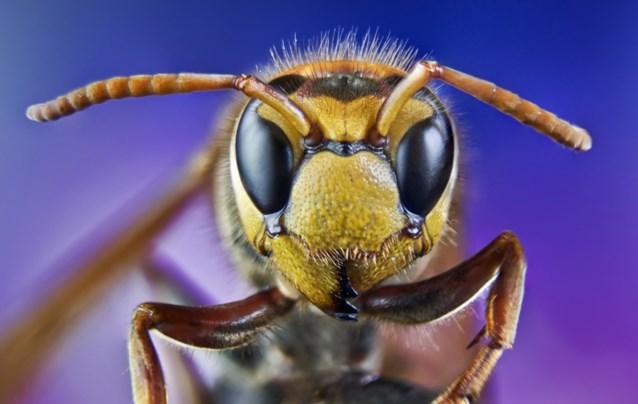 Gevaarlijke wespensoort bedreigt onze bijenpopulatie