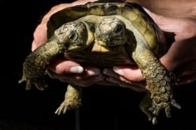 Tweekoppige siamese schildpad viert twintigste verjaardag