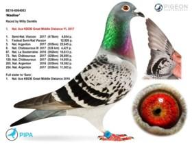 Duurste duif ooit komt uit ons land: Vlaming verkoopt prijsbeest voor recordbedrag