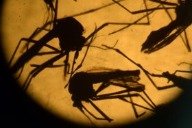 Zika muteert gevaarlijk snel: vrees dat virus niet alleen via muggen maar ook via seks wordt overgedragen