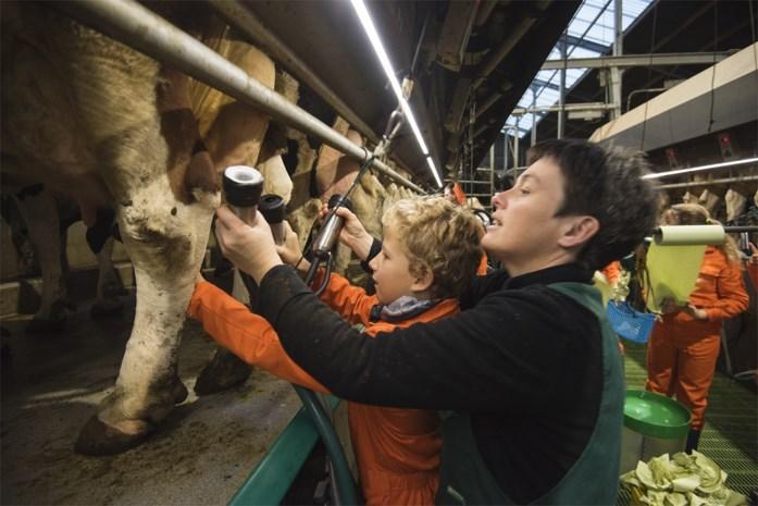 De kinderen van het zesde leerjaar in Rupelmonde hoeven hun broek niet te verslijten op de schoolbanken, want boeren Jan en Ann geven les in de koeienstal