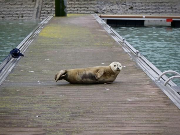 Drenkeling blijkt surfende zeehond te zijn