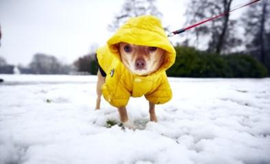 Met de hond wandelen in de sneeuw is niet helemaal zonder gevaar: deze dingen moet je zeker onthouden
