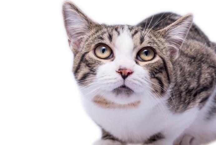 """Waarom dierenartsen het kattenplan van minister Weyts """"allesbehalve realistisch"""" noemen. """"Huiskat met uitsterven bedreigd"""""""