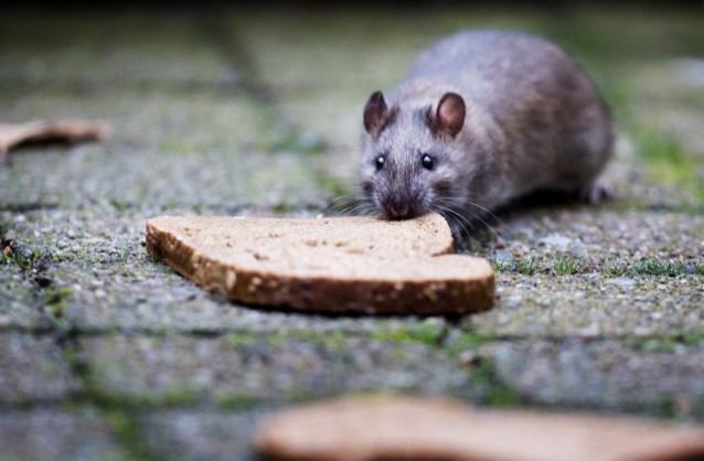 """Opvallend meer ratten door aanhoudende regen: """"Ze komen zelfs door de wc"""""""