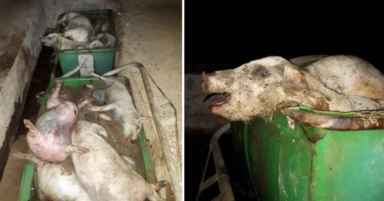 Colruyt en Delhaize schorten samenwerking met Spaanse dierenmishandelaar tijdelijk op