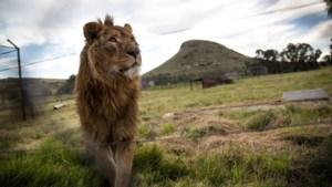 Twee leeuwen krijgen nieuwe thuis na redding uit verlaten zoo in door oorlog verscheurd gebied