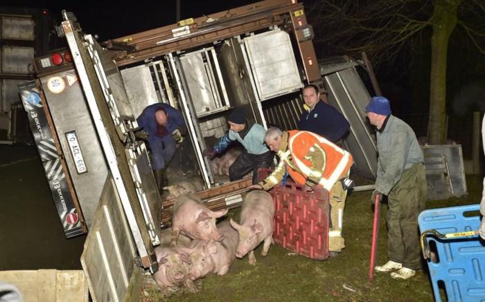 """Zeventig varkens sterven nadat trucker met vrachtwagen in gracht is beland: """"Gelukkig is het met de chauffeur beter afgelopen"""""""