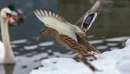 Opnieuw vogelgriep vastgesteld in Nederland