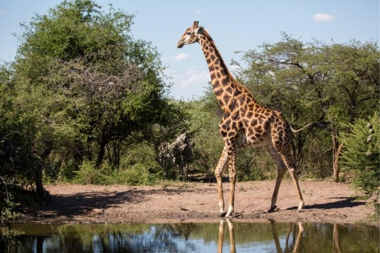 """Regisseur overlijdt na zware aanval door giraf: """"Het kwam uit het niets"""""""