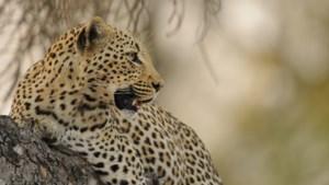 """Kind verslonden door luipaard in nationaal park in Oeganda, klopjacht op """"menseneter"""""""