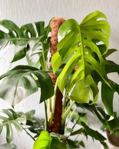 De gatenplant is hip, maar hoe onderhoud je hem?