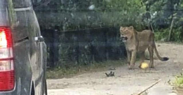 "Loslopende leeuwin ""na twee mislukte verdovingspogingen"" doodgeschoten in dierenpark Planckendael"