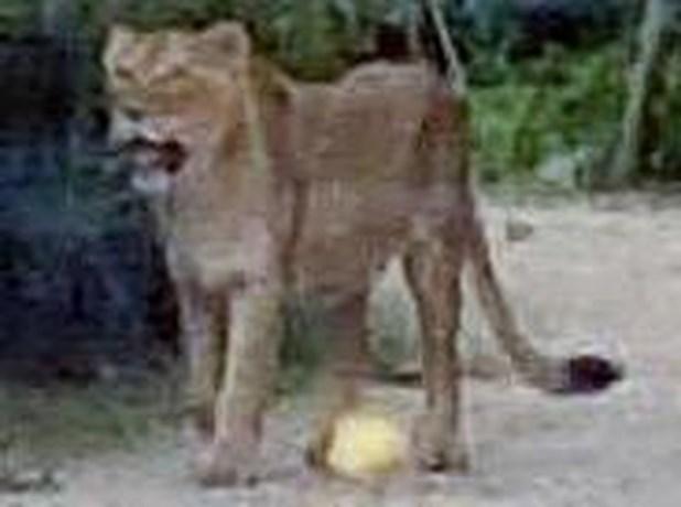 Verzorger die leeuwin Rani liet ontsnappen, krijgt sanctie