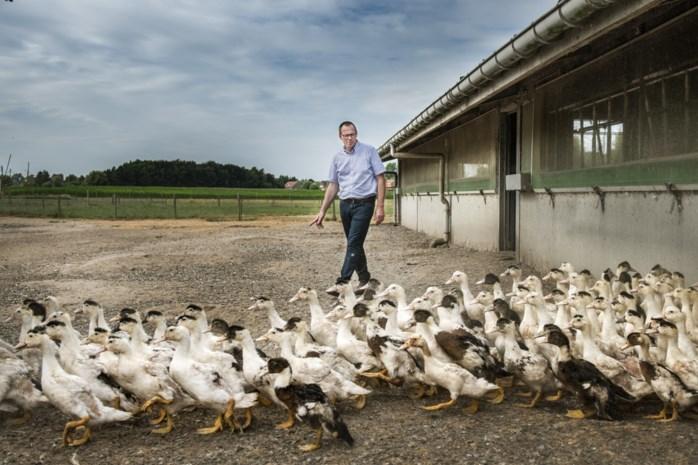 """De koning van de Vlaamse foie gras houdt er noodgedwongen mee op: """"De grote schuldige is Donald Duck"""""""