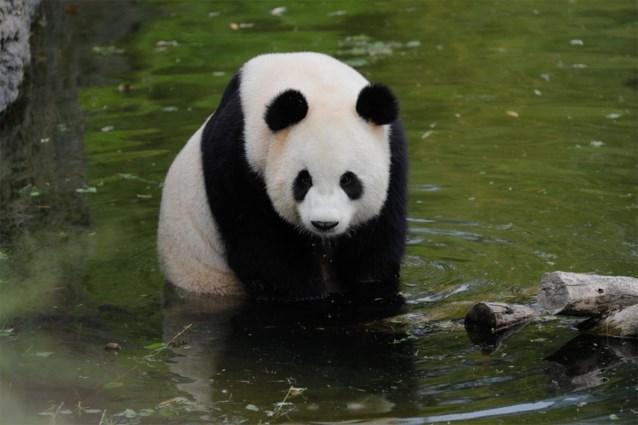 "Pairi Daiza in zak en as: ""Hao Hao zal ons geen babypanda schenken"""