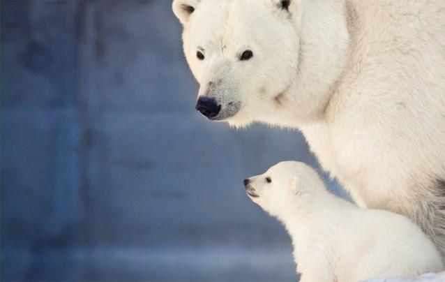 Vijf ijsberen doodgeschoten nadat moeder en jong jagers aanvallen: één man dood, twee zwaargewond