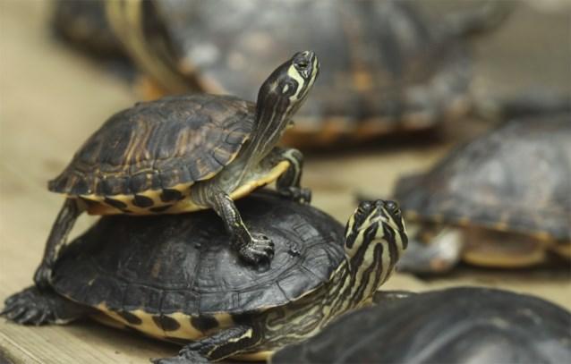 Oeps: kweker van schildpadden wordt overspoeld met haatboodschappen