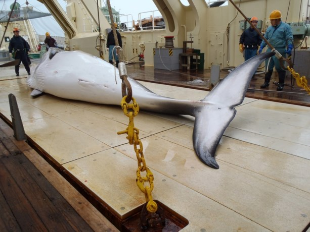 """Walviscommissie roept op om populaties te herstellen, tot ongenoegen van Japan: """"Intolerant"""""""