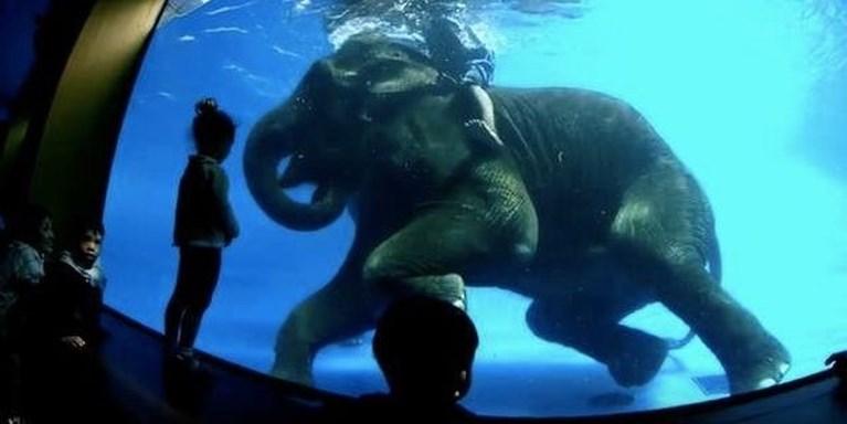 Schokgolf van verontwaardiging en protest nadat olifanten trucs moeten uitvoeren onder water voor toeristen